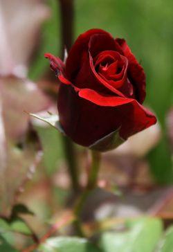 Redrosebud